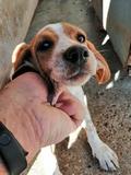 cachorra de pachón Navarro - foto