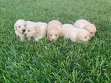 GOLDEN RETRIEVER + 30 RAZAS DIFERENTES - foto