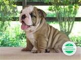 BULLDOG INGLES - foto