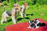 CACHORROS FOX TERRIER - foto