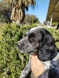 cachorros de caza - foto