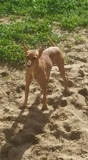 Cachorros podenco andaluz talla chica - foto