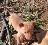 Perros de caza podenco andaluz - foto