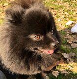 Pomerania negro con pedigree. - foto