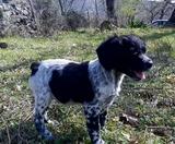 Cachorro macho epagneul breton - foto