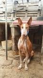 Preciosos cachorros de podenco canario - foto
