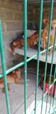 se vende remolque y perros de caza - foto