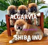 CACHORROS SHIBA INU DISPONIBLES - foto