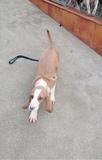 cachorra sabueso español - foto