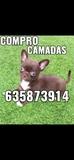 COMPRO CAMADAS ENTERAS DE CHIHUAHUA - foto