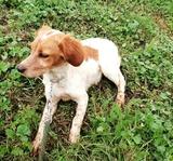Disponible cachorra iniciada de breton - foto