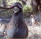 Coto de caza Reclamo Perdiz en Ayora - foto