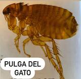 PULGA DEL GATO  - foto