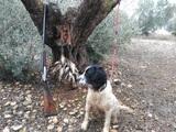 Springer pedigree cazando - foto