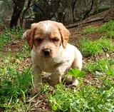 Cachorros bretÓn disponibles - foto