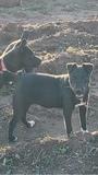 venta de cachorra patterdale terrier - foto