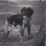 Se ofrece perro Bretón para montas - foto