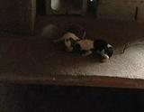 ultima cachorra de mis perros de caza - foto