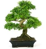 Artista bonsai disponible. - foto