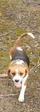 perra cazando conejo - foto