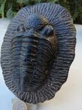 trilobites - foto