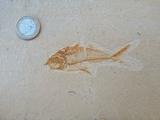 pez fosil - foto