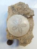 erizo fosil - foto