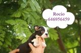 BOSTON TERRIER. . . AUTENTICOS CACHORROS!! - foto