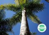 PALMERAS DE COCO PLUMOSO - foto