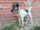 Fox terrier liso smooth monta - foto