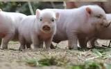 CERDITOS MINI PIG - foto
