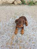 Jack Terrier chocolate - foto