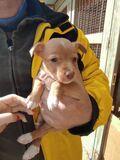 Se venden cachorros de podenco - foto