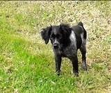 Cachorro epagneul breton - foto