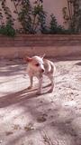 Cachorros de podenco - foto