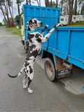 SE VENDEN CACHORROS DE DOGO ALEMAN - foto