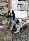 Cachorro azul de gascuña - foto