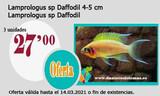 LAMPROLOGUS SP DAFFODIL 4-5 CM - foto