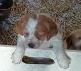 cachorros de epagneul breton - foto