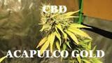 100 SEMILLAS CBD ACAPULCO GOLD 50 EUROS - foto