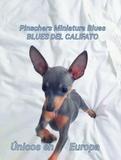 MINI PINSCHERS BLUES DEL CALIFATO - foto