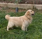 GOLDEN RETRIEVER MACHO - foto