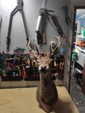 Cabeza de ciervo  - foto