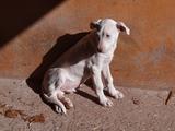 PAREJA DE DOGOS ARGENTINO - foto