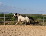 SEMENTAL PAINT HORSE - foto