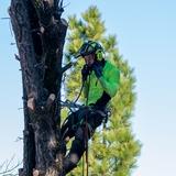 Poda de palmeras y árboles - foto