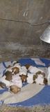 CACHORROS JACK RUSSELL - foto