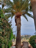 poda en altura árboles y palmeras - foto