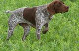 venta de perros de caza y puesto fijo - foto