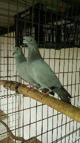 MIL ANUNCIOS COM - Cimbel paloma  Artículos de caza cimbel paloma
